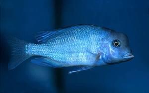 Разведение аквариумных рыбок, таких как Дельфин голубой семейства...